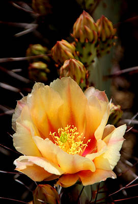 Photograph - Prickly Pear by Joe Kozlowski