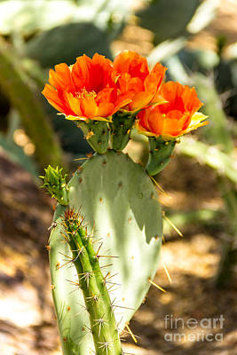 Black And White Horse Photography - Prickly Pear Trio by Beverly Tabet