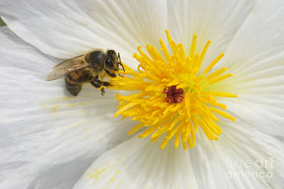 Photograph - Prickly Poppy And Honey Bee by Craig Lovell