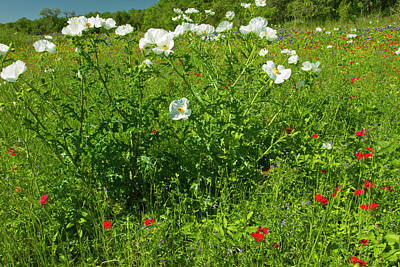 Prickly Poppy Blooming In Central Texas Art Print