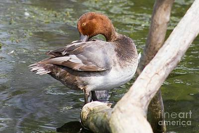 Nikki Vig Royalty-Free and Rights-Managed Images - Prim and Proper Redhead Duck by Nikki Vig