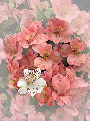 Photograph - Prima Donna - Alstroemeria by Gill Billington