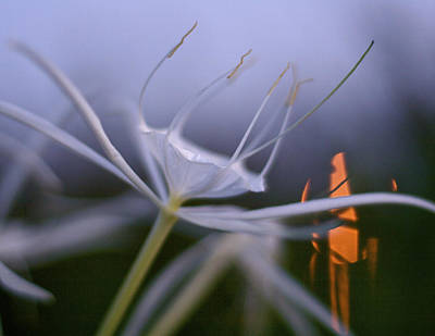 Photograph - Prima Donna - Spider Lily Art Print by Jane Eleanor Nicholas