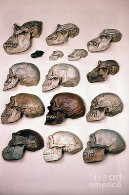 Photograph - Primate Skulls Apes And Humans by E R Degginger