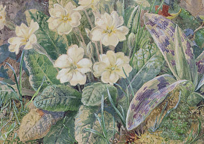 Primrose Painting - Primrose And Orchid by Thomas Collier