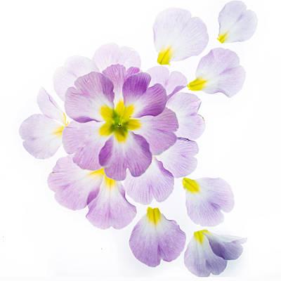Primrose Petals 1 Art Print by Rebecca Cozart