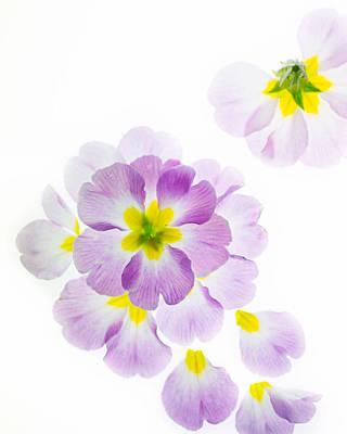 Primroses Photograph - Primrose Petals 2 by Rebecca Cozart