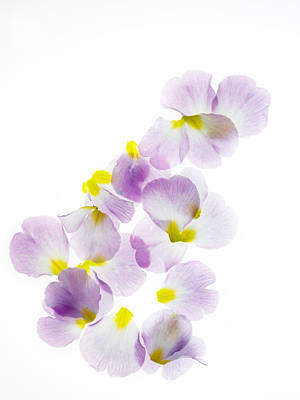 Primroses Photograph - Primrose Petals 5 by Rebecca Cozart