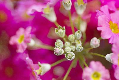 Primroses Photograph - Primrose Spring by Rebecca Cozart