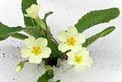 Primroses (primula Vulgaris) In Snow Art Print by Bob Gibbons