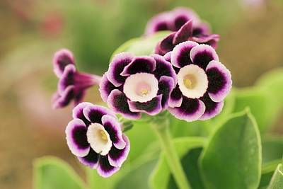 Variegated Photograph - Primula Auricula 'lila' Flowers by Adrian Thomas