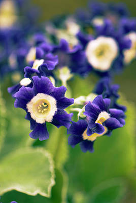 Auricula Photograph - Primula Auricula 'old Irish Blue' Flowers by Adrian Thomas