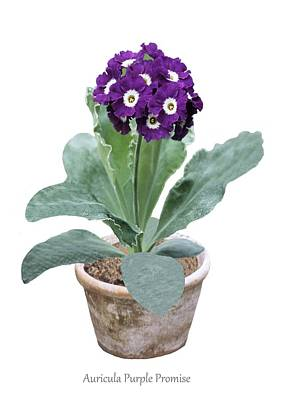 Primula Auricula Photograph - Primula Auricula 'purple Promise' by Science Photo Library