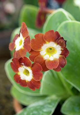 Auricula Photograph - Primula Auricula 'slack Top Red' by Adrian Thomas