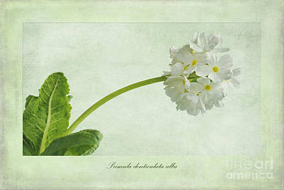 Drumstick Photograph - Primula Denticulata Alba by John Edwards