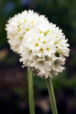Primula Denticulata Flowers Art Print