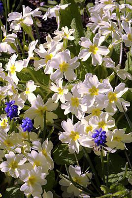 Primula 'mcwatt's Cream' Flowers Art Print