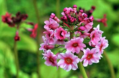 Pink Primroses Photograph - Primula Pulverulenta 'bartley' Flowers by Colin Varndell