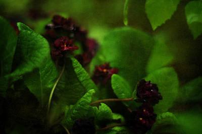 Photograph - Primula Vulgaris by Rebecca Sherman
