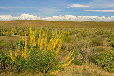Princes Plume And Mount Tom - Spring Wildflowers Owens Valley Eastern Sierra California Art Print by Ram Vasudev