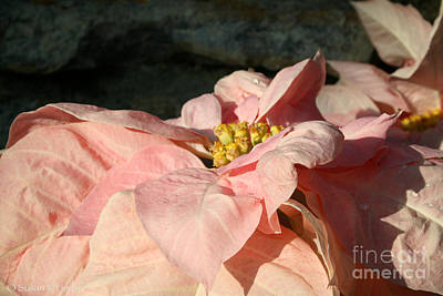 Photograph - Princess Poinsettia by Susan Herber