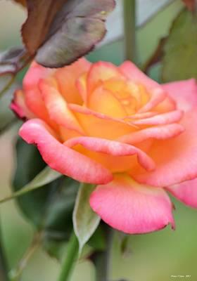 Photograph - Princess Rose by Maria Urso