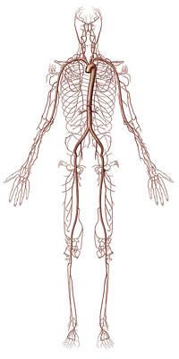 Photograph - Principal Arteries, Illustration by QA International