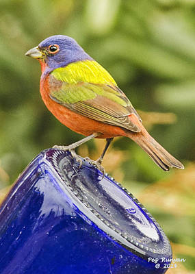 Photograph - print size Painted Bunting by Peg Runyan