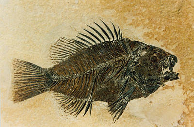 Photograph - Priscacara Fossil, Eocene Sunfish by Science Source