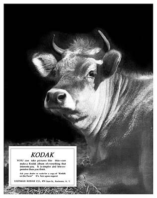 Photograph - Prize Bull. Circa 1917. by Unknown Photographer