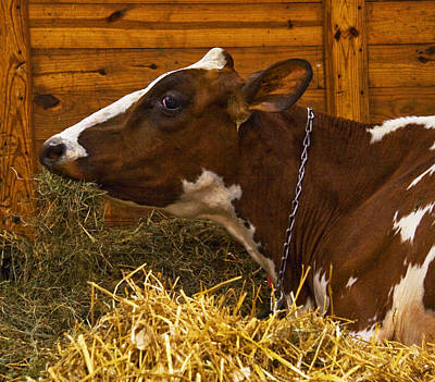 Photograph - Prize Dairy Cow by Michael Friedman