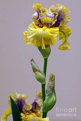 Photograph - Prize Winning Iris by Byron Varvarigos