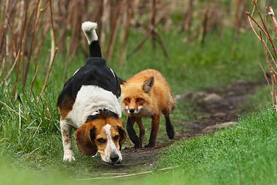 Fox Wall Art - Photograph - Probably The World's Worst Hunting Dog by Mircea Costina Photography