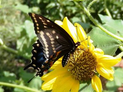 Photograph - Probing Swallowtail  by Belinda Lee