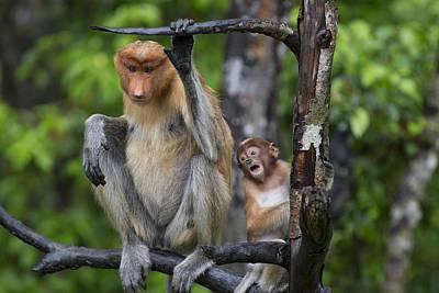 Proboscis Monkey Mother And Three Month Art Print