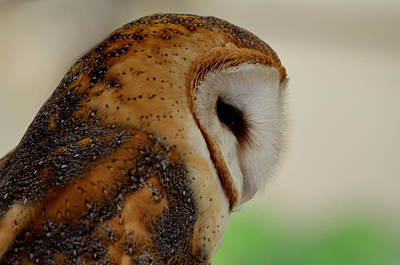 Photograph - Profile Of A Barn Owl by Kathleen Stephens
