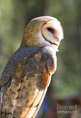 Photograph - Profile Of A Barn Owl  by Kevin McCarthy