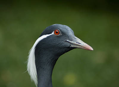 Demoiselle Crane Photograph - Profile Of A Demoiselle Crane by Jill Mitchell