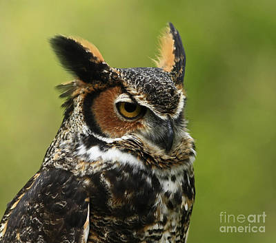 Profile Of A Great Horned Owl Art Print by Inspired Nature Photography Fine Art Photography