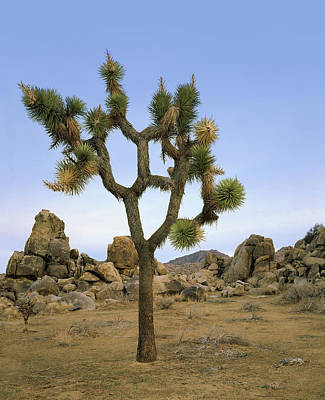 Photograph - Profile Of A Joshua Tree by Paul Breitkreuz