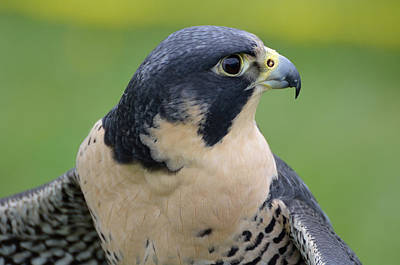 Photograph - Profile Of A Peregrine by Kathleen Stephens