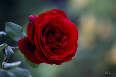 Photograph - Profile Of A Red Rose by Diana Haronis