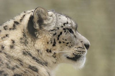 Photograph - Profile Of A Snow Leopard by Chris Boulton