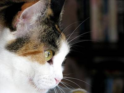 Of Calico Cats Photograph - Profile Of Beauty by Chris Gudger
