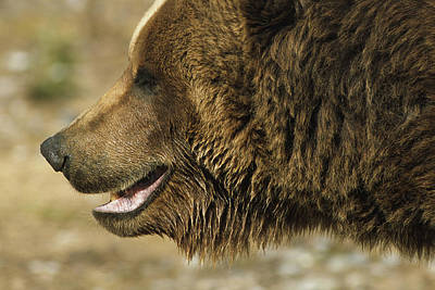 Photograph - Profile Of Brown Bear Denali Np In by Doug Lindstrand