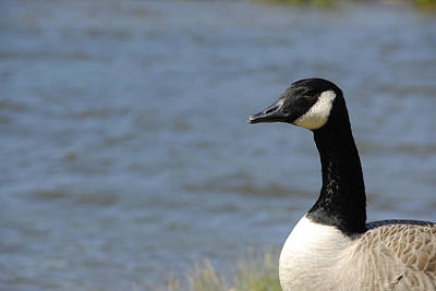 Photograph - Profile Of Goose by Charles Beeler