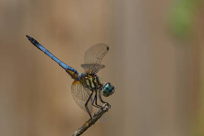 Photograph - Profile Of The Dragonfly by Kim Henderson