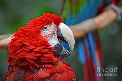 Photograph - Profile Portrait Of A Parrot II by Jim Fitzpatrick