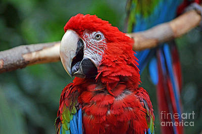 Photograph - Profile Portrait Of A Parrot  by Jim Fitzpatrick