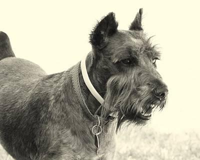 Schnauzer Art Photograph - Profile View by Mickey Harkins